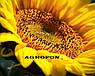 Семена подсолнечника НСХ 6749 технология ГРАНСТАР/СУМО, фото 8
