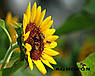 Семена подсолнечника НСХ 6749 технология ГРАНСТАР/СУМО, фото 9