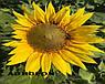 Семена подсолнечника НСХ 6749 технология ГРАНСТАР/СУМО, фото 10