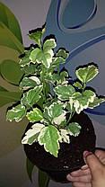 Гибискус сирийский махровый Пеперминт Смузи \ Hibiscus syriacus Peppermint Smoothie ( саженцы 2 года), фото 2