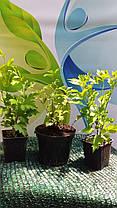 Гибискус сирийский махровый Пеперминт Смузи \ Hibiscus syriacus Peppermint Smoothie ( саженцы 2 года), фото 3