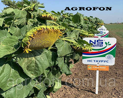 Семена подсолнечника ТАУРУС технология ЕВРОЛАЙТИНГ AGROFON