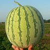 Семена арбуза Ортал F1 / Оrtal F1, 500 семян