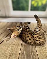 Мальчик сервал, др. 28.09.2020. Котята сервала из питомника Royal Cats. Украина, Киев.