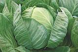 Семена капусты Либератор F1  50 шт. Syngenta, фото 2