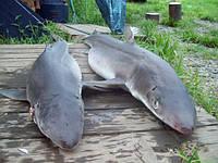 Катран - черноморская акула, целая, потрошеная