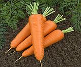 Семена моркови Канада F1 1000 шт. ( 1.6 грамм)  1,80-2,00 фракция Bejo Zaden, фото 2
