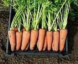 Семена моркови Каскад F1 1000 семян ( 1,448 грамм ) Bejon Zaden, фото 2