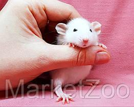 """Крыска дамбо,окрас """"Белый пятнистый"""",возраст 1мес.,мальчики, фото 3"""