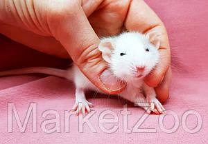 """Крыска дамбо,окрас """"Белый пятнистый"""",возраст 1мес.,мальчики, фото 2"""