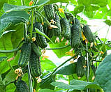 Семена огурца Эколь F1 50 шт. самоопыляемый Syngenta, фото 2