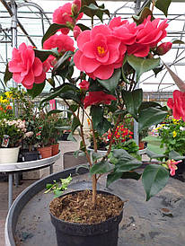 Камелія сітчаста Mary Williams 2 річна, Камелия сетчатая Мери Вильямс, camellia reticulata Mary Williams
