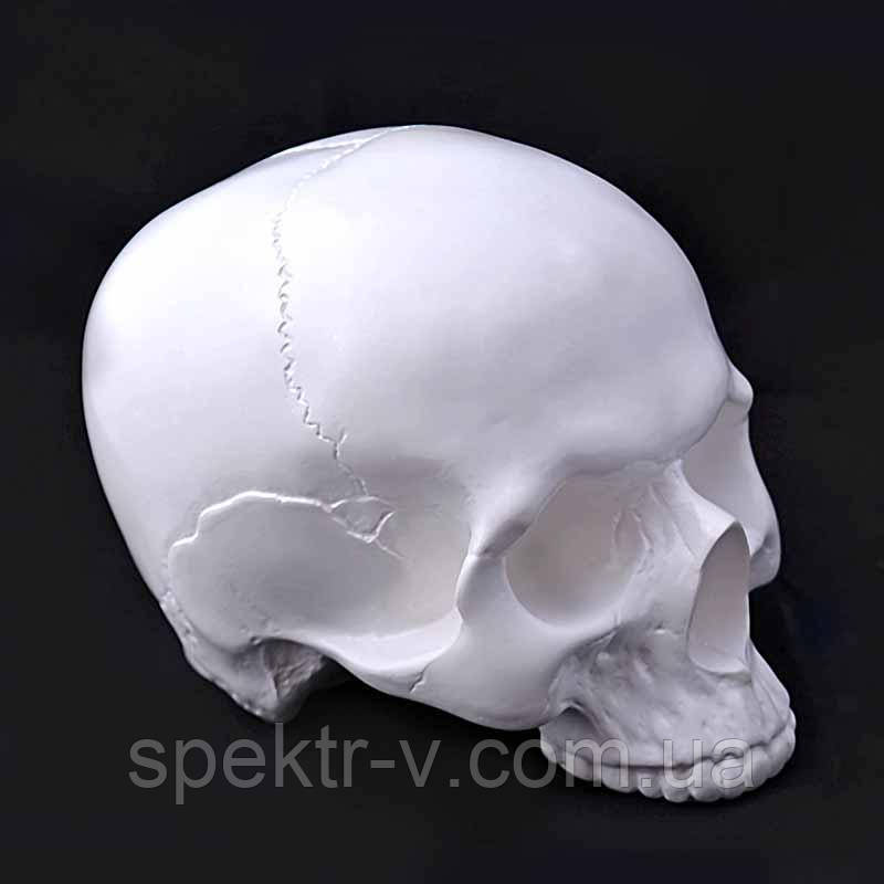Череп человека без челюсти для раскрашивания