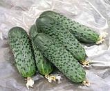 Семена огурца Сатина F1 50 шт. самоопыляемый Nunhems, фото 2