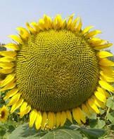 Семена подсолнечника Сирена (МС)