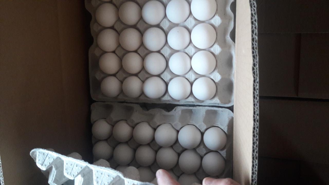 Яйцо Ломан вайт