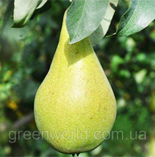 Саджанці груші Конкорд (ІС 4-6) (приймем замовлення на осінь 2021)