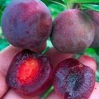 Саженцы Мейнор (гибрид сливы и вишни СВГ)(принимаем заказ на осень 2021)