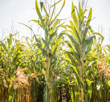 Насіння кукурудзи ЛГ 31479, фото 2