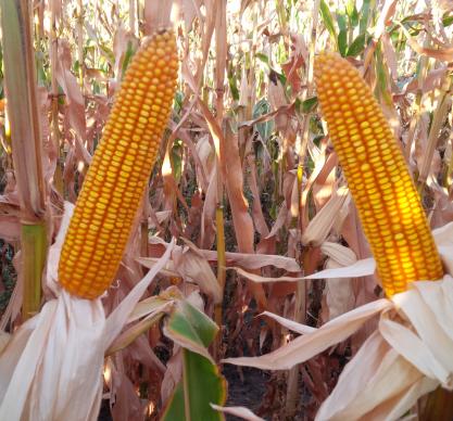 Насіння кукурудзи ЛГ 30273, фото 2