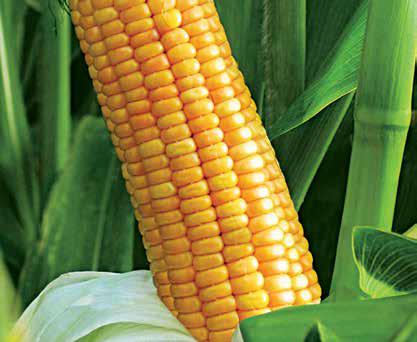 Насіння кукурудзи ЛГ 30267, фото 2