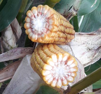 Насіння кукурудзи Жаклін, фото 2