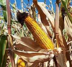 Насіння кукурудзи ЛГ 31272
