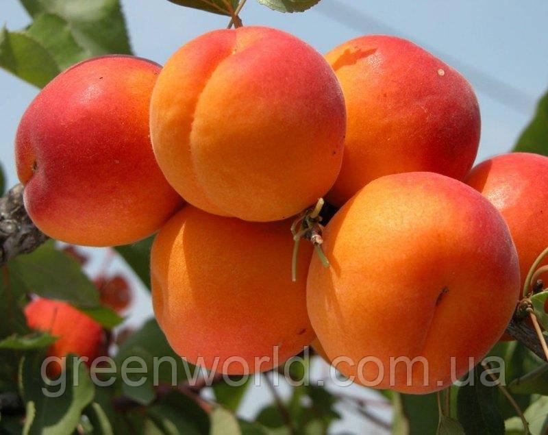 Саджанці абрикоса Кіото (приймаємо замовлення на осінь 2021)
