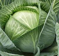 КАУНТ F1  - семена капусты белокочанной, CLAUSE 2 500 семян