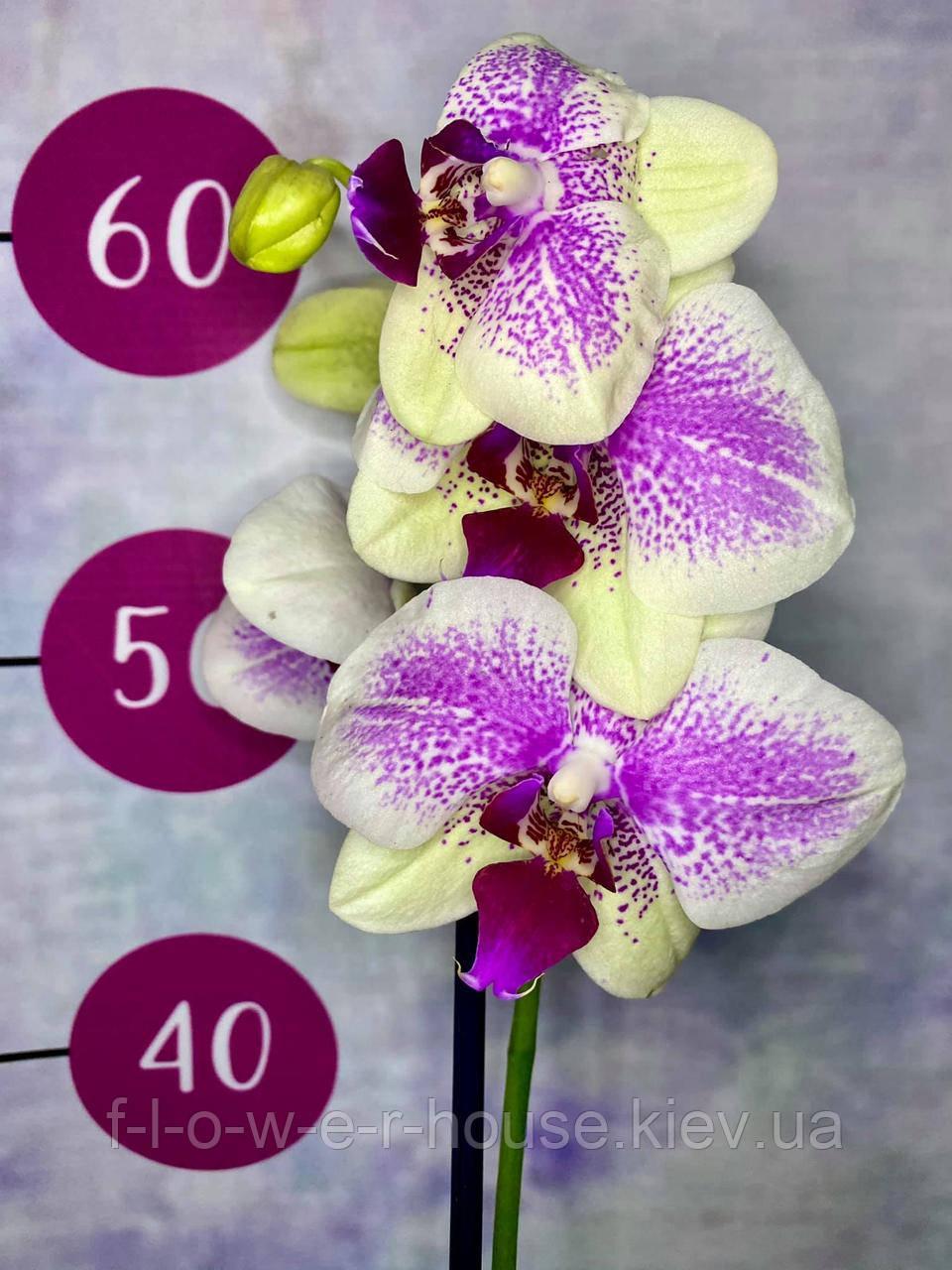 Орхидея Октопус