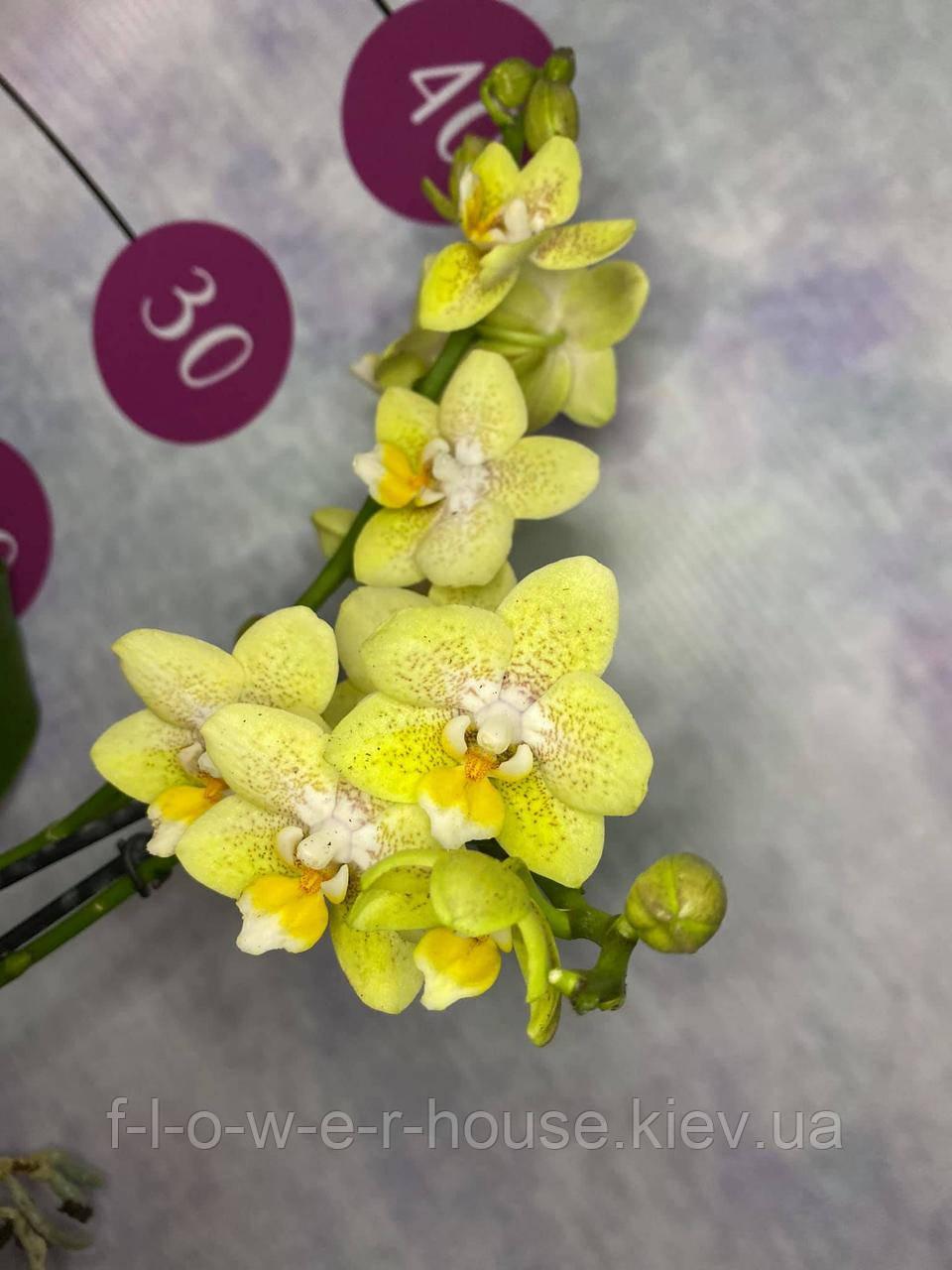 Орхидея Желтые веснушки