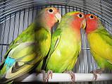 Попугаи Неразлучники. (Пятнистый), фото 7