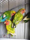Попугаи Неразлучники. (Пятнистый), фото 4