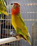Попугаи Неразлучники. (Пятнистый), фото 2