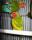 Попугаи Неразлучники. (Пятнистый), фото 5