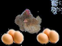 Карликовый  кохинхин (Яйцо)