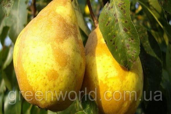 Саженцы груши Сочинская ананасная (ИС 4-6) (приймем заказ на осень 2021)