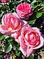 Ля Роз де Молинар (  La Rose de Molinard ), фото 8