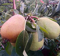 Саджанці груші Дельбараю RX - 12 (Рікс) (приймем замовлення на осінь 2021)