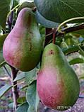 Саженцы груш Яковлевская (приймем заказ на осень 2021), фото 2
