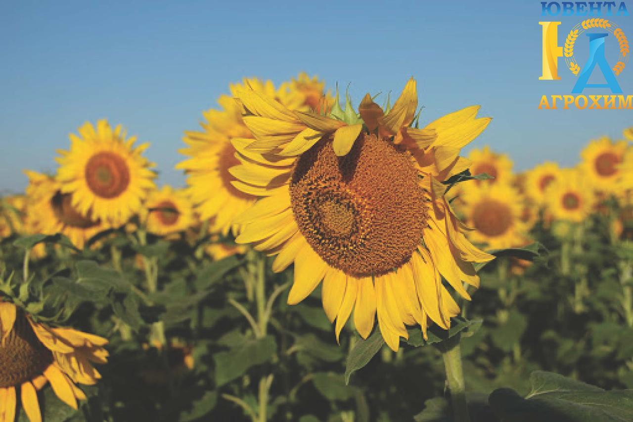 Семена подсолнечника Бленд (стандарт)