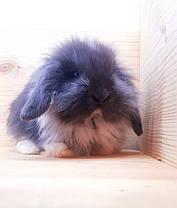 """Карликовый вислоухий кролик,порода """"Lion lop"""",окрас """"Голубой плащевой"""",возраст 1мес.,девочка и мальчик, фото 3"""
