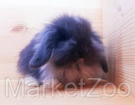 """Карликовый вислоухий кролик,порода """"Lion lop"""",окрас """"Голубой плащевой"""",возраст 1мес.,девочка и мальчик, фото 2"""