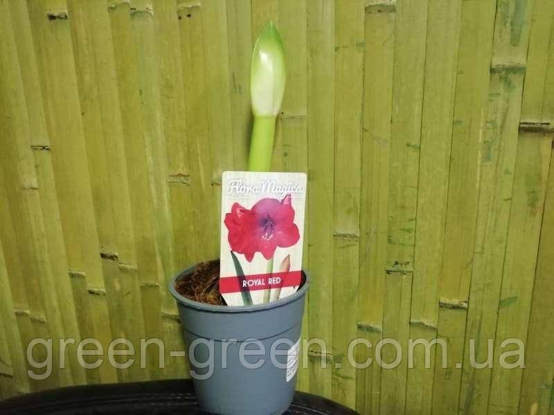 Гиппеаструм (Амариллис) Royal Red