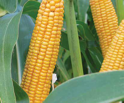 Насіння кукурудзи ЛГ 31377