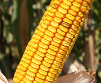 Насіння кукурудзи ЛГ 30352, фото 2