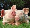 Свиньи как бизнес. Cколько можно заработать на свиньях в Украине?