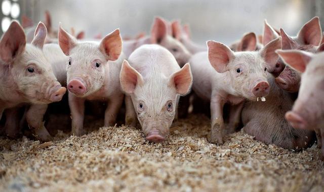 Выращивание свиней как бизнес в Украине и сколько можно заработать