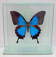Сувенир - Бабочка под стеклом Papilio ulysses