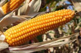 Насіння кукурудзи ЛГ 30308, фото 2